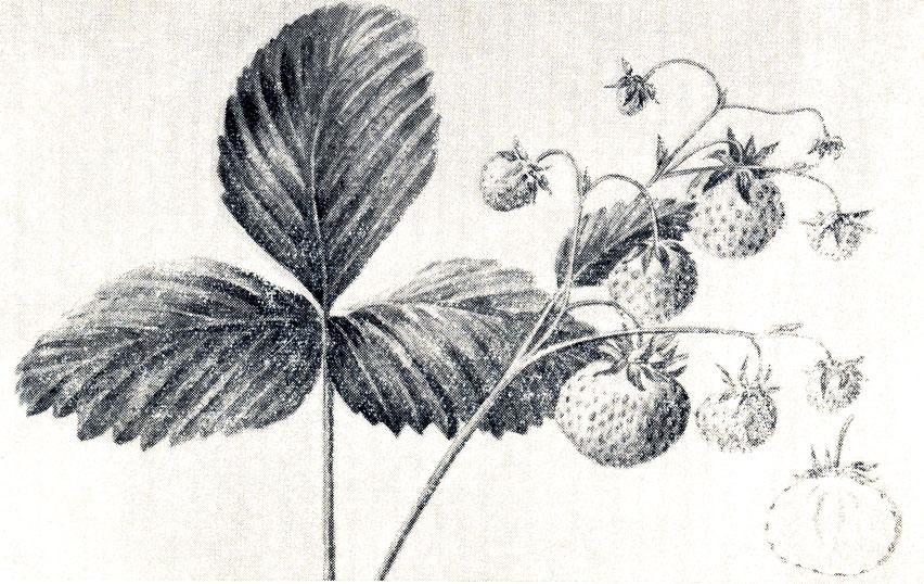 Рис. 10. Ягоды сорта Белая ананасная