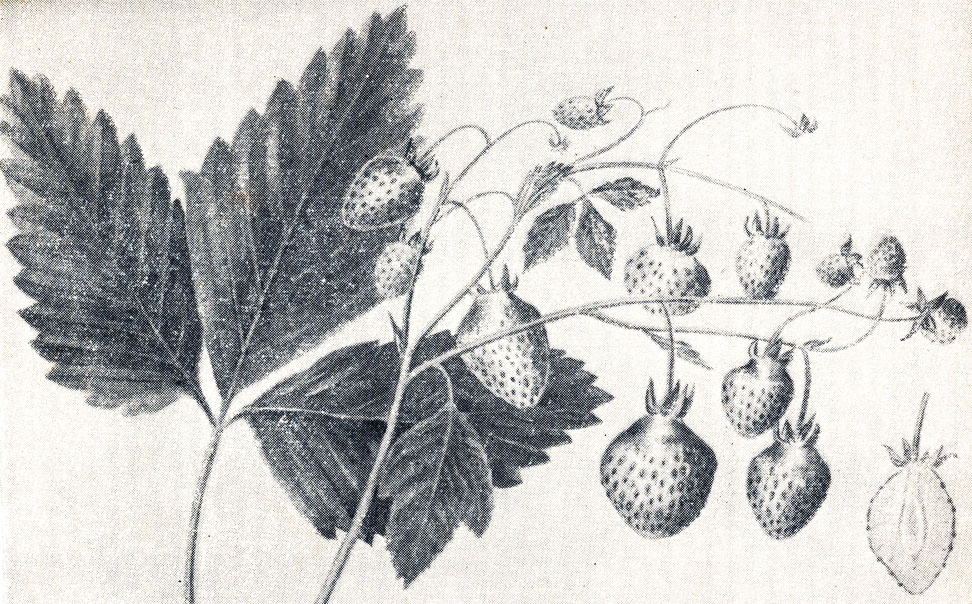 Рис. 12. Ягоды клубники сорта Шпанка