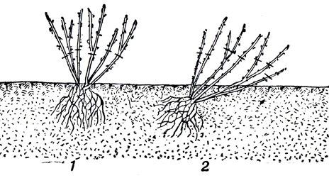 Схемы посадки черной смородины.