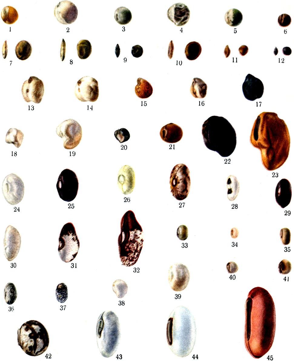 Список бобовых растений: фото, названия видов - Udec