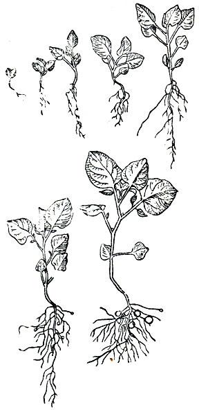 Схема развития картофельного