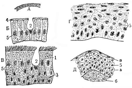 Эпителиальная ткань: А